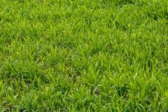 Lush. Photo lush green lawn in sunlight Royalty Free Stock Image