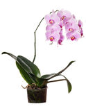 Lush pink orchid flower in pot Stock Photos