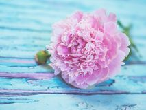 A lush pink peony lying on a bluish wooden table against soft-focused background. Royalty Free Stock Images