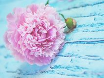 A lush pink peony lying on a bluish wooden table against soft-focused background. Stock Photo