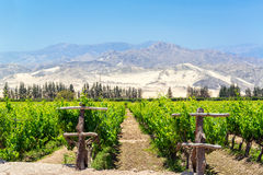 Lush Pisco Vineyard in Peru Royalty Free Stock Photography
