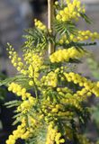Lush plant of yellow mimosa flowers bloomed royalty free stock photography