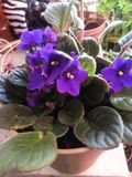 Lush purple African violets. These beautiful little flowers are a favorite for many potted plant enthusiasts. They are much like succulents in that they don& x27 Stock Images