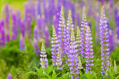Lush purple lupines in the meadow Stock Photography