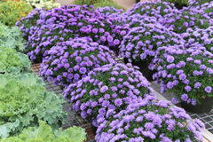 Lush purple mums. In full bloom with a green leaf outline Royalty Free Stock Photo