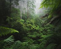 Lush rain forest with morning fog. Rainforest in the Ottways National Park, Victoria Australia Royalty Free Stock Images