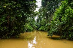 Lush rainforest along yellow water tributary of Kinabatangan riv. Er, Sabah, Borneo. Malaysia Royalty Free Stock Photography