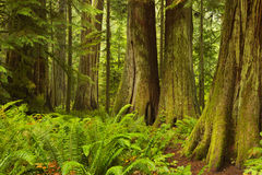Lush rainforest in Cathedral Grove in Canada Royalty Free Stock Images