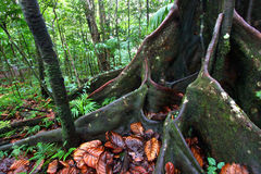 Lush Rainforest - Saint Kitts. Large buttressed roots spread across the ground in a lush rainforest in the highlands of Saint Kitts Stock Photos