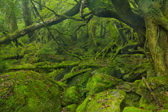 Lush rainforest on Yakushima Island, Japan Royalty Free Stock Image