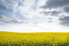 Lush rapeseed field Royalty Free Stock Photography