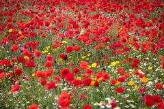 View of wild meadow poppies stock image