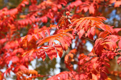 Lush Red Sorbus Leaves In Autumn. Lush red autumn leaves of mountain ash (Sorbus aucuparia) in sunny October day stock images