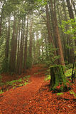 Lush redwood forest Stock Images
