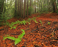 Lush redwood forest Stock Photo