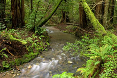 Lush Redwood Forest and Stream, California Stock Photography
