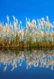 Lush reeds under the blue sky. Royalty Free Stock Image
