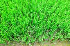 Lush Rice Field. Verdant rice field showing farmer way of Thai life, Thailand, Asia royalty free stock photo