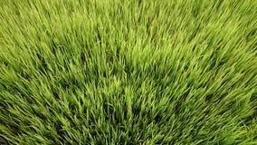 Lush rice Stock Photo