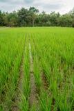 Lush rice paddies of Nakhon Ratchasima Stock Photos