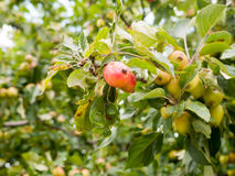 Lush and ripe fully grown red crab apples on a tree. Essex; UK Stock Images