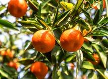 Lush mandarines on the tree royalty free stock images