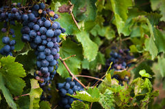 Lush, ripe red wine grapes on the vine with green leaves Stock Photography