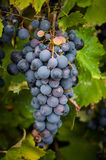 Lush, ripe red wine grapes on the vine with green leaves Royalty Free Stock Images