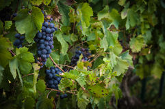 Lush, ripe red wine grapes on the vine with green leaves Stock Photo