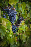 Lush, ripe red wine grapes on the vine with green leaves Royalty Free Stock Image