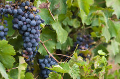 Lush, ripe red wine grapes on the vine with green leaves Stock Photos