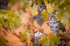 Lush, Ripe Wine Grapes with Mist Drops on the Vine Stock Photography