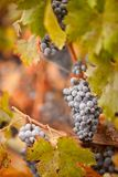Lush, Ripe Wine Grapes with Mist Drops on the Vine Royalty Free Stock Images