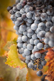 Lush, Ripe Wine Grapes with Mist Drops on the Vine Stock Images
