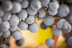 Lush, Ripe Wine Grapes with Mist Drops on the Vine Royalty Free Stock Photography