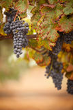 Lush, Ripe Wine Grapes on the Vine Stock Images