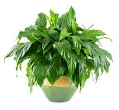 Lush, shiny indoor plant Royalty Free Stock Photography