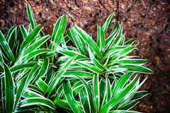 Lush spider plant or airplane plant. In the garden Royalty Free Stock Photography