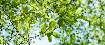 Lush spring vibrant foliage of poplar tree view from below. Wide image of lush early spring foliage - vibrant green spring fresh leaves of poplar tree in spring Royalty Free Stock Image