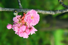 Lush springtime cherry blossoms. Royalty Free Stock Images