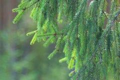 Lush spruce branch Stock Image