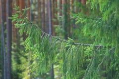 Lush spruce branch Royalty Free Stock Photos