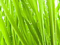 Lush Summer Grass. With morning dew Stock Photography