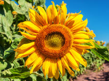 Lush sunflower, field Royalty Free Stock Photography