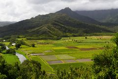 Lush Taro Fields At Hanalei Royalty Free Stock Photo