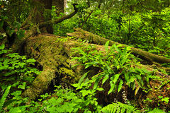 Lush temperate rainforest Stock Photos