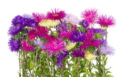 Lush terry autumn asters bloom on the flowerbed stock photos