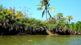 Mangrove forests in Myanmar. The lush thickets of nypa palms along the bank of Kangy river, popular among the tourists, visiting Chaung Tha, for its mangrove stock video footage