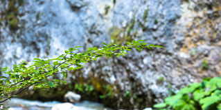 Lush Tree Branch. A small lush green tree branch with beautiful fresh green leaves and a defocused rock landscape in the background Stock Photos