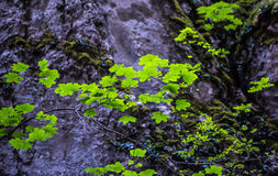 Lush Tree Branch. A small lush green tree branch with beautiful fresh green leaves and a defocused rock landscape in the background Stock Photography